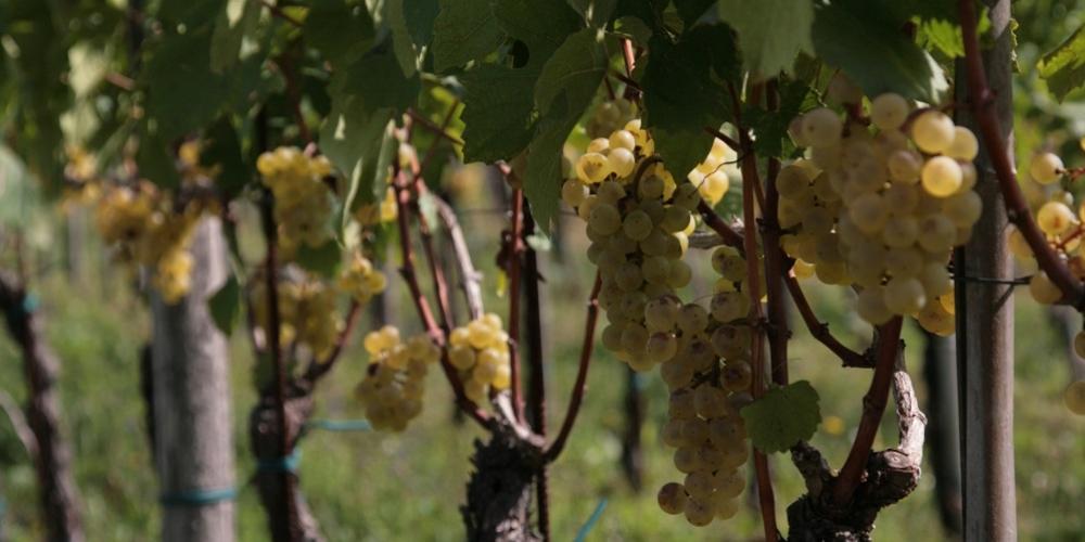 kmetija-fornazaric-belo-grozdje