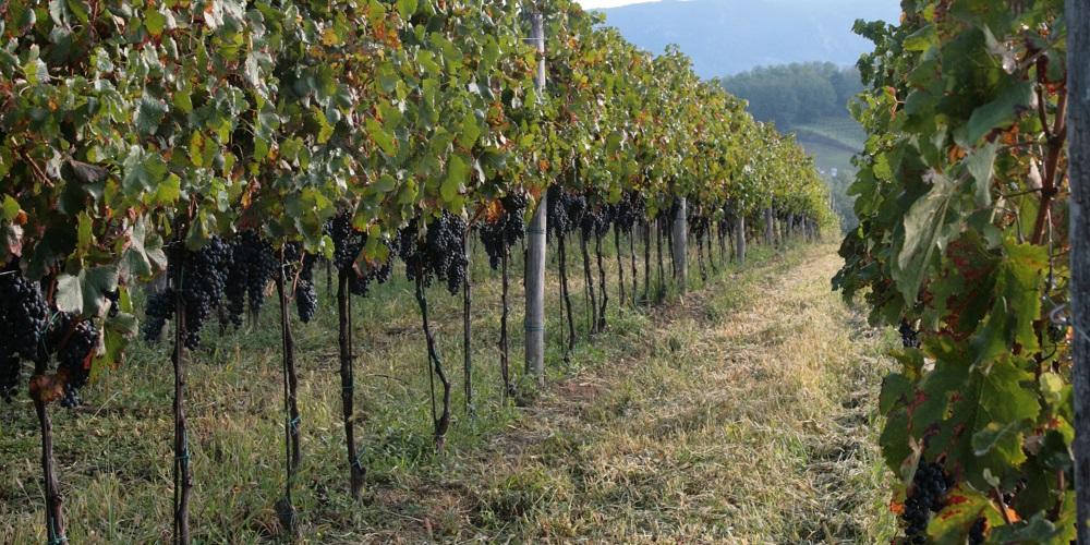 kmetija-fornazaric-rdec-vinograd